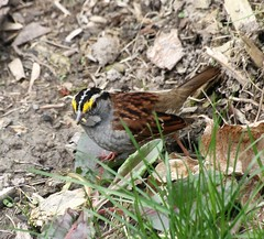 White-Throated Sparrow (reinap) Tags: whitethroatedsparrow