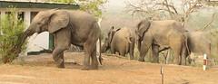 Savanna elephants at the Mole Motel, Mole National Park, Ghana (inyathi) Tags: westafrica ghana africananimals africanwildlife africanelephants savannaelephants elephants loxodontaafricana molemotel molenationalpark africa
