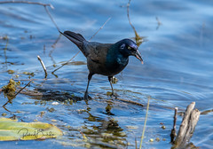 Grackle (Rick Burbidge) Tags: birds grackle
