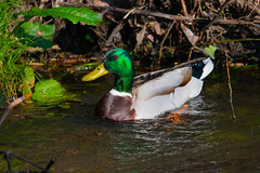 Quack! (Mikon Walters) Tags: nikon d5600 sigma 150600mm contemporary super zoom lens photography close up duck male green beak bill water floating stream brook footherley shenstone crane quack living things nature outdoors wildlife wild life creature