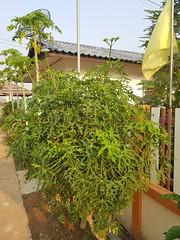 Cnidoscolus aconitifolius (Mill.) I.M.Johnst. Euphorbiaceae-Chaya, tree spinach, ผักขมแม็กซิกัน, ผักชูรส (SierraSunrise) Tags: esarn flowers isaan nongkhai ornamentals phonphisai plants shrubs thailand white euphorbiaceae edible