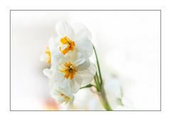 """Narzisse """"Cheerfulness"""" (2) (Pippilotta aus dem Tal) Tags: sel90m28g"""