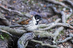 Male reed bunting (mikedoylepics) Tags: reedbunting birds bird wwtarundel wildlife westsussex arundel arundelwildlifewetlandstrust arundelwwt d4 nikond4 nature nikon sussex