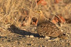 Ganga Bicinta ♀ (ik_kil) Tags: gangabicinta doublebandedsandgrouse pteroclesbicinctus kruger krugernationalpark southafrica nyctiperdixbicinctus