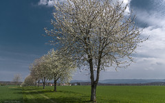 Cherry tree avenue on the Einsiedel - I (KF-Photo) Tags: 1610 acker einsiedel felder grasweg kirschbã¤ume kirschbaumallee kirschblã¼te