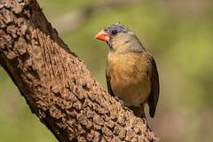 Northern Cardinal female (Lynn Tweedie) Tags: wood bokeh beak tail northerncardinal wing canon ngc animal female 7dmarkii missouri sigma150600mmf563dgoshsm tree eye green eos feathers bird branch