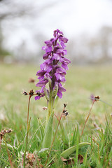 Green-winged orchid (roger_forster) Tags: greenwinged orchid anacamptismorio gosport hampshire hiwwt