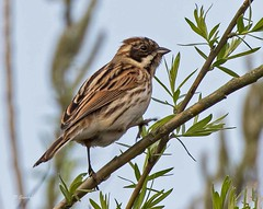 IMG_0458 Reed Bunting (Dennis Swaby) Tags: bird reedbunting bunting