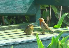 Open wide (Deida 1) Tags: robin fledgling parent adult feeding wildlife garden uk staffordshire