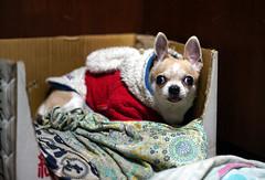 Dog AF (QX22) Tags: dog 吉娃娃 狗 chihuahua