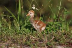 Baby sandhill crane. (zachzombiesphotos) Tags: animal wildlife bird sandhillcrane crane