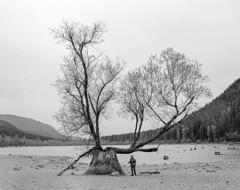 A Tree Grows in North Bend (vtom61) Tags: tree stump rattlesnakelake northbendwa blackandwhite kodak tmax kodaktmax400 pentax pentax67ii pentax67 pentaxmediumformat pentax45mmf4 smcpentax6745mmf4 film