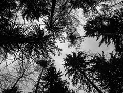 Forest - straight up... (chrisogru) Tags: trees bnw bw bwphotography schwarzweis forest omd olympus olympusphotography moody