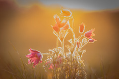 Küchenschelle (airamatina) Tags: morgenlicht sonnig küchenschelle blume sonnenaufgang hell pulsatilla nikon d 750