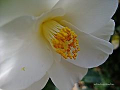Blanco y amarillo 048 (adioslunitaadios) Tags: plantasyflores airelibre jardín campo viverosalegre fujifilm macro