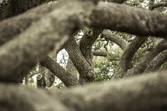 Twisting Oak Trees - The Big Tree No. 3 (Mabry Campbell) Tags: texas thebigtree usa attraction bark branches brown image intimatelandscape landmark limbs oaktree oaktrees photo photograph texture touristattraction tree trees twisting f28 mabrycampbell march 2019 march162019 20190316mabrycampbellh6a5017 200mm ¹⁄₂₀₀sec 320 ef200mmf28liiusm