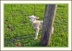 I Have Captured His Attention (and His Picture) (sjb4photos) Tags: michigan farm manchestermichigan washtenawcounty lamb fence fencefriday hff