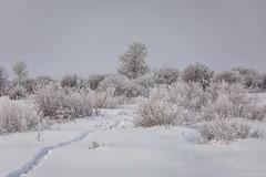 hoarfrost - Grand Teton National Park - 1-13-19  02 (Tucapel) Tags: frost fog hoarfrost grandteton nationalpark jackson wyoming