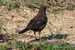 Blackbird (Ashley Middleton Photography) Tags: blackbird cricklade lmf animal bird england europe lowermoorfamnaturereserve unitedkingdom wiltshire cotswoldwaterpark