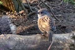 Dunnock (Ashley Middleton Photography) Tags: cricklade lmf animal bird dunnock england europe lowermoorfamnaturereserve unitedkingdom wiltshire cotswoldwaterpark