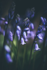 106/365 - Bluebells (Forty-9) Tags: canon eos6d eflens ef100mmf28lmacroisusm lightroom forty9 project365 365 2019 3652019 tomoskay project3652019 day106 106365 april 16thapril2019 16042019 photoaday tuesday macro flower bluebells bluebell blue spring