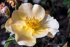 Rosa spinosissima (Luis FrancoR) Tags: rosaspinosissima luisfrancor flores flowers macro yellow sombrasenamarilloshadowsinyellow ngw ngs ngd ngg ngm ng ngc ngo jardinbotanicobogota d600 nikon60mm28 nikon nikonistas nikonflickraward