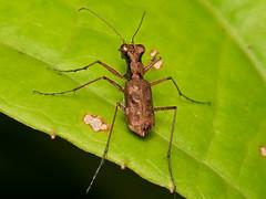 Odontocheila sp., Carabidae (Eerika Schulz) Tags: odontocheila tiger beetle laufkäfer käfer ecuador puyo eerika schulz mera