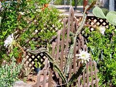 First Night Blooming Cereus of 2019 (Chic Bee) Tags: tucson arizona flower anatomy reproduction botany cactus nightbloomingcereus alhambra garden white trumpetshaped petals sonorandesertgarden southwesternusa americansouthwest trellis