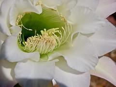 First Night Blooming Cereus of 2019 (Chic Bee) Tags: tucson arizona trellis flower anatomy reproduction botany cactus nightbloomingcereus alhambra garden white trumpetshaped petals sonorandesertgarden southwesternusa americansouthwest