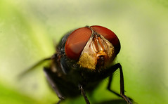 Fly Face (Craig Tuggy) Tags: thailand bangkok macro reverse lens stack insect nature fly