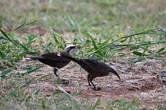 Grey-crowned Babblers (philk_56) Tags: australia northern territory bird grey crowned babbler feeding grass katherine