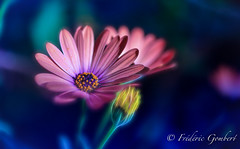 Blue Light (frederic.gombert) Tags: flower flowers light color colors sun sunlight macro plant spring blue pink