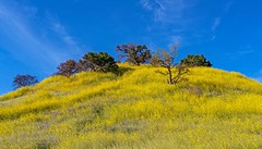 Malibu Creek State Park wildflowers wildflowers (Luc Mena Photography) Tags: losangeles ca usa hills malibu creek park wildflowers state california spring season flowers nature bloom blooming outdoors landscape scenic blue sky clouds trees yellow colorful ngc
