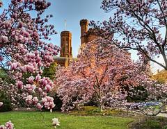 garden in full bloom (ekelly80) Tags: dc washingtondc spring march2019 garden smithsonian castle enidahauptgarden light morning sunrise glow commute magnolias pink flowers