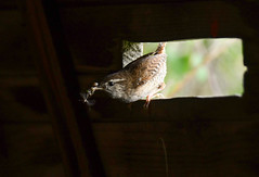 Using the hide at Marquenterre (robmcrorie) Tags: parc park marquenterre bout crocs france north nord baie somme bay wildlife nature reserve birding nikon d850 wren nest feeding hide poste