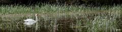 Idylle .... (peterphot) Tags: schwan swans natur wildlife mai sachsen sony tamron600 biensdorf kuhteich