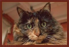 DSC04649 Easy Portrait (Olpo2vin) Tags: cat chat yeux eyes regard look félin feline olpo easy poils fourrure redessan 30129 animaldecompagnie vibrisses