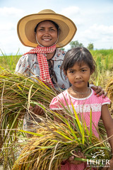 Heifer Cambodia-027 (Heifer International) Tags: 2018 cambodia harvest rice