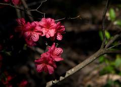 IMG_0023 Coral Azaleas (oldimageshoppe) Tags: blossoms azaleas coralcolor morningsun shade spring