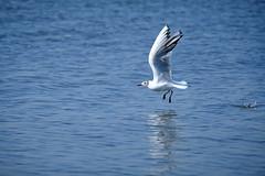 16.4.19 028 (V.SD) Tags: möwe vogel wasser