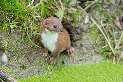 Trouble in Vole town (Max Thompson Photography) Tags: nature wildlife weasel water vole somerset out west england uk canon wild animal mammal
