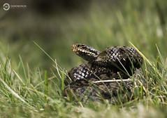 Common European Adder (Vipera berus) (Ouroboros Photography) Tags: canon england herp herpetology reptile spring unitedkingdom viper vipera viperaberus viperinae trueviper adder common female venom venomous europe european snake serpent