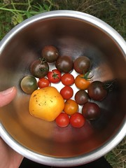 IMG_7414-092118 (octoberblue13) Tags: tomatoes harvest bowl