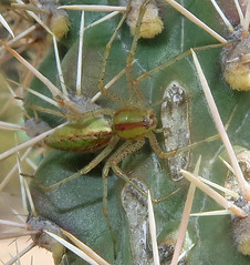 Green Lynx Spider, Peucetia viridans, Sonoita Creek Preserve, AZ (Seth Ausubel) Tags: oxyopidae az araneae