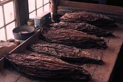 Stepwise stogies . . . (ericrstoner) Tags: tobacco tobaccoleaves strippingroom nicotianatabacum solanacea ektachrome lancastercounty pennsylvania tobaccolath lancaster