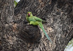 parrot (mkumar.photographer001) Tags: parrot