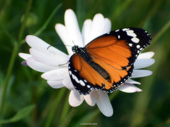 Butterfly (mkumar.photographer001) Tags: butterfly whiteflower