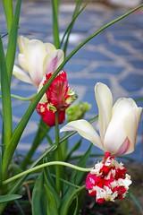 Tulipes (BzhPaco) Tags: flowers flower fleur fleurs colors artistic bretagne bzh tulipes