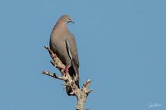 Palomas cenizas - Patagioenas inornata - Plain Pigeon- Duvergé - 05 (Juan Alberto Taveras) Tags: republicadominicana juantaveras plainpigeon patagioenasinornata palomaceniza