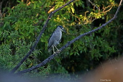 1.02158 Bihoreau gris / Nycticorax nycticorax hoactli / Black-crowned Night-Heron (Laval Roy off until 07/08/2019) Tags: mexique mexico jalisco aves oiseaux birds canon blackcrownednightheron nycticoraxnycticorax bihoreaugris ardéidés pélicaniformes eltuito ranchoprimavera lavalroy
